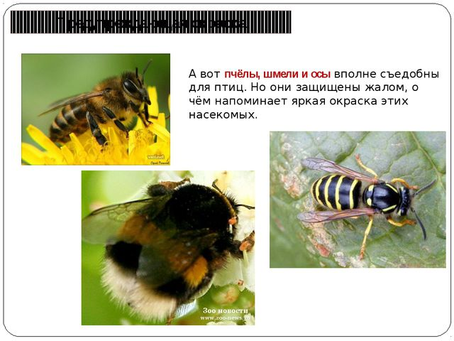 Предупреждающая окраска А вот пчёлы, шмели и осы вполне съедобны для птиц. Но...