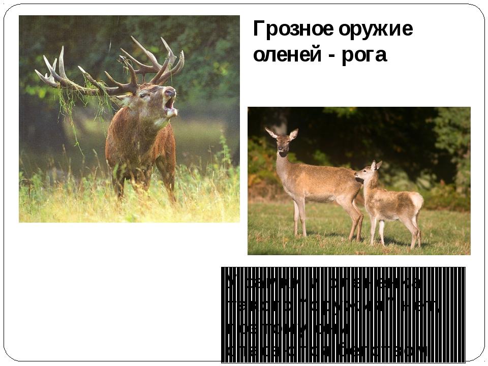 """Грозное оружие оленей - рога У самки и оленёнка такого """"оружия"""" нет, поэтому..."""