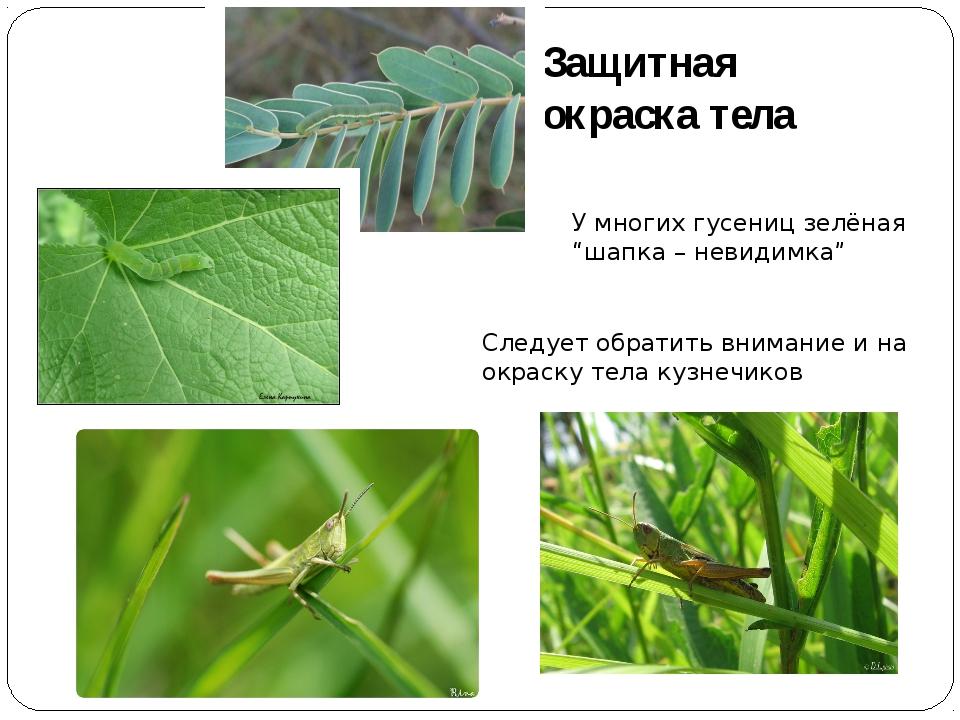 """Защитная окраска тела У многих гусениц зелёная """"шапка – невидимка"""" Следует об..."""