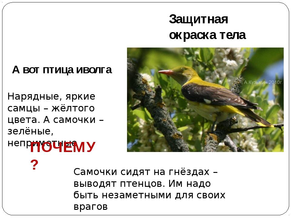 Защитная окраска тела А вот птица иволга Нарядные, яркие самцы – жёлтого цвет...