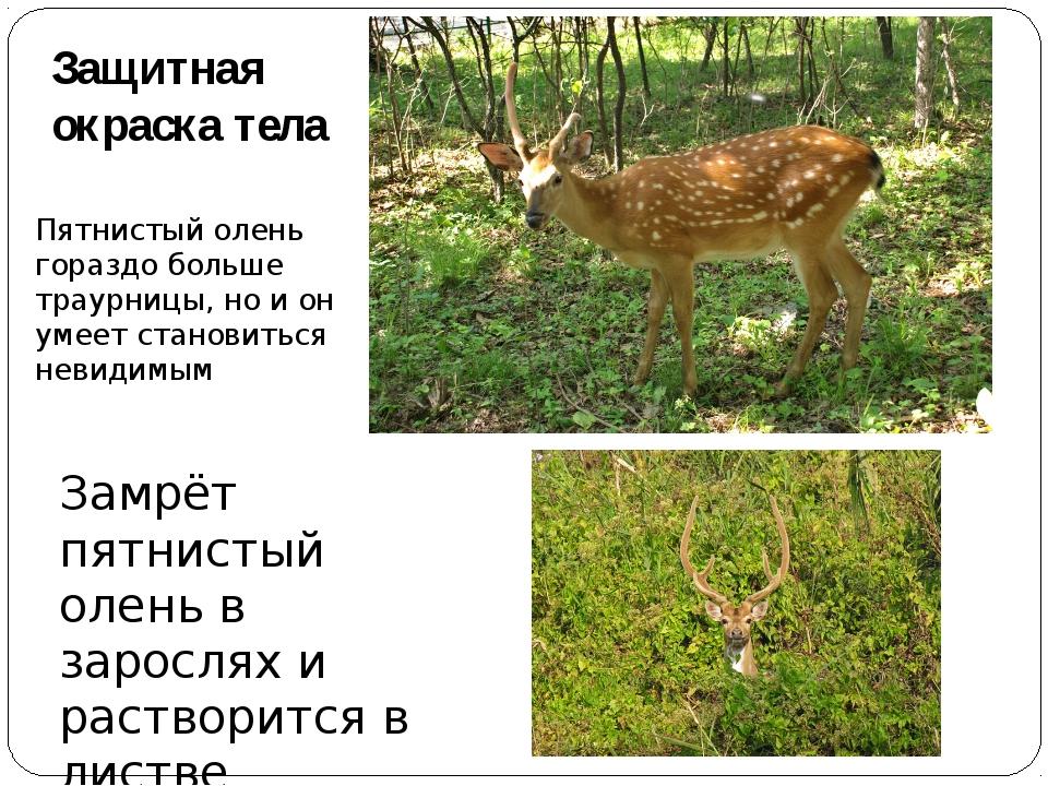 Защитная окраска тела Пятнистый олень гораздо больше траурницы, но и он умеет...