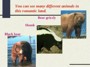 You can see many different animals in this romantic land. Bear grizzly Skunk