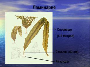 Ламинария Слоевище (5-6 метров) Стволик (50 см) Ризоиды
