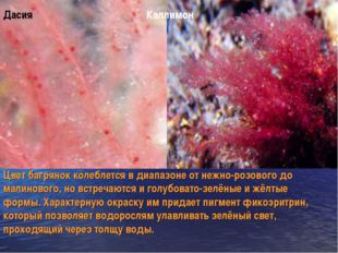 Дасия Каллимон Цвет багрянок колеблется в диапазоне от нежно-розового до мали