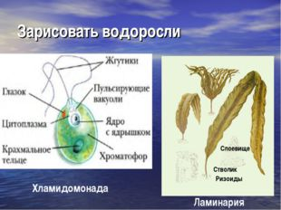 Зарисовать водоросли Ризоиды Стволик Слоевище Хламидомонада Ламинария