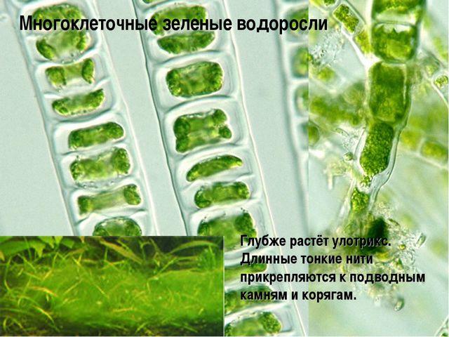 Глубже растёт улотрикс. Длинные тонкие нити прикрепляются к подводным камням...