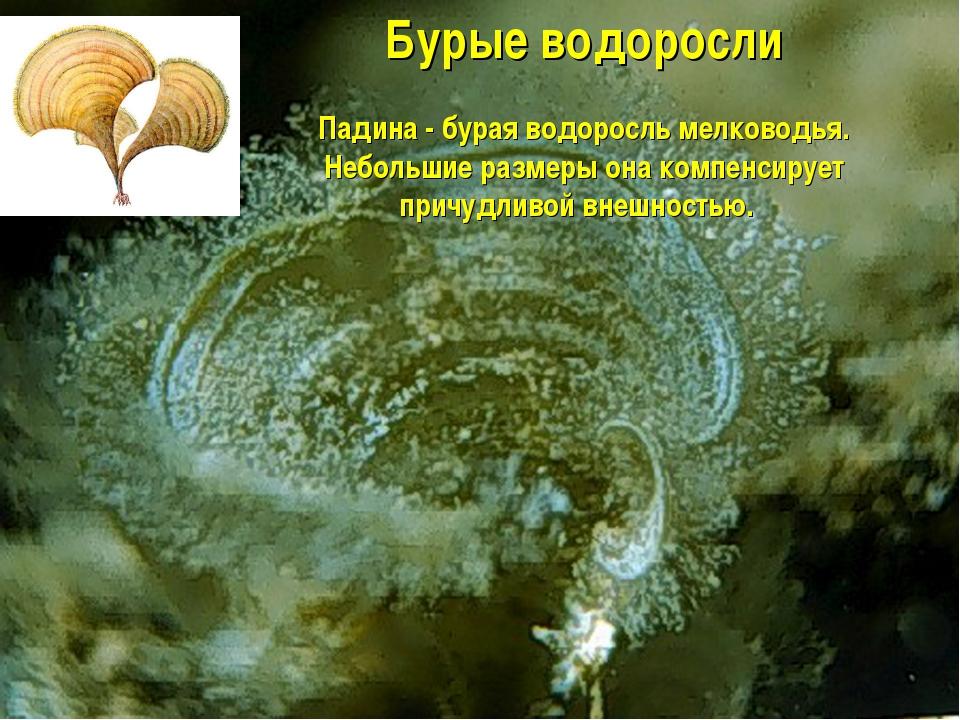 Бурые водоросли Падина - бурая водоросль мелководья. Небольшие размеры она ко...