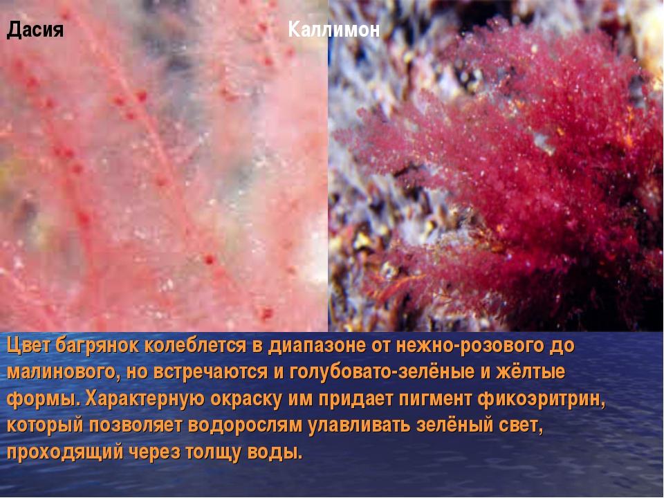 Дасия Каллимон Цвет багрянок колеблется в диапазоне от нежно-розового до мали...