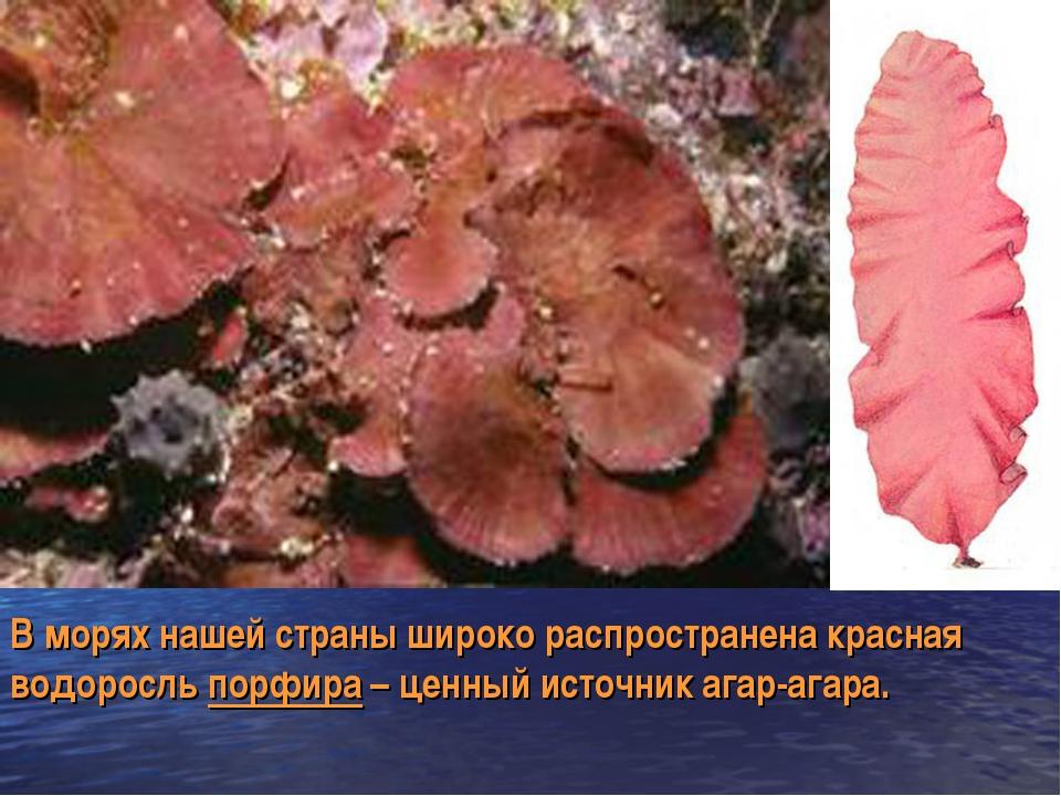 В морях нашей страны широко распространена красная водоросль порфира – ценный...