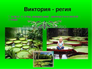 Виктория-регия Виктория - регия Өте ірі ақ гүлі бар, жапырағының диаметрі 2 м