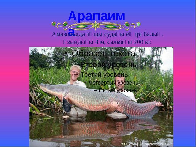Арапаима Амазонкада тұщы судағы ең ірі балық. Ұзындығы 4 м, салмағы 200 кг.