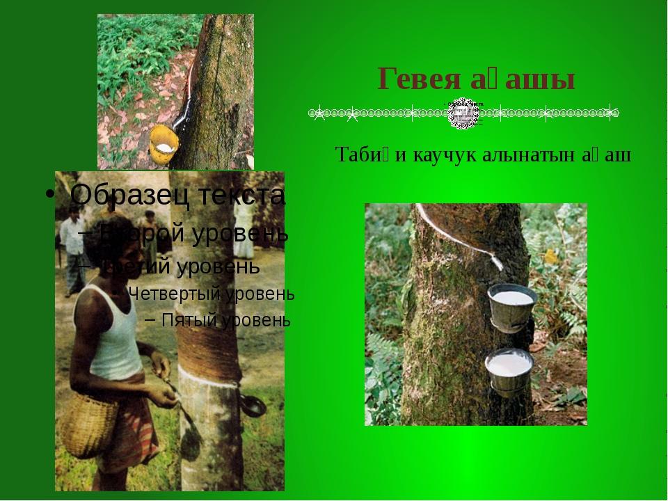 Гевея ағашы Табиғи каучук алынатын ағаш