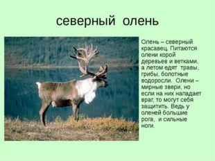 северный олень Олень – северный красавец. Питаются олени корой деревьев и вет