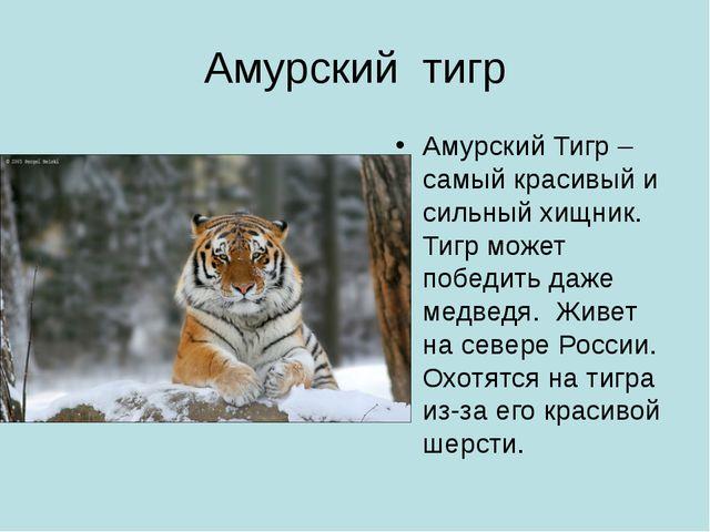Амурский тигр Амурский Тигр – самый красивый и сильный хищник. Тигр может поб...