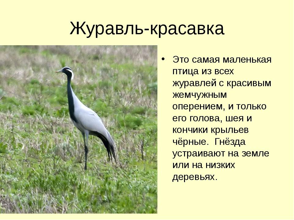 Журавль-красавка Это самая маленькая птица из всех журавлей с красивым жемчуж...