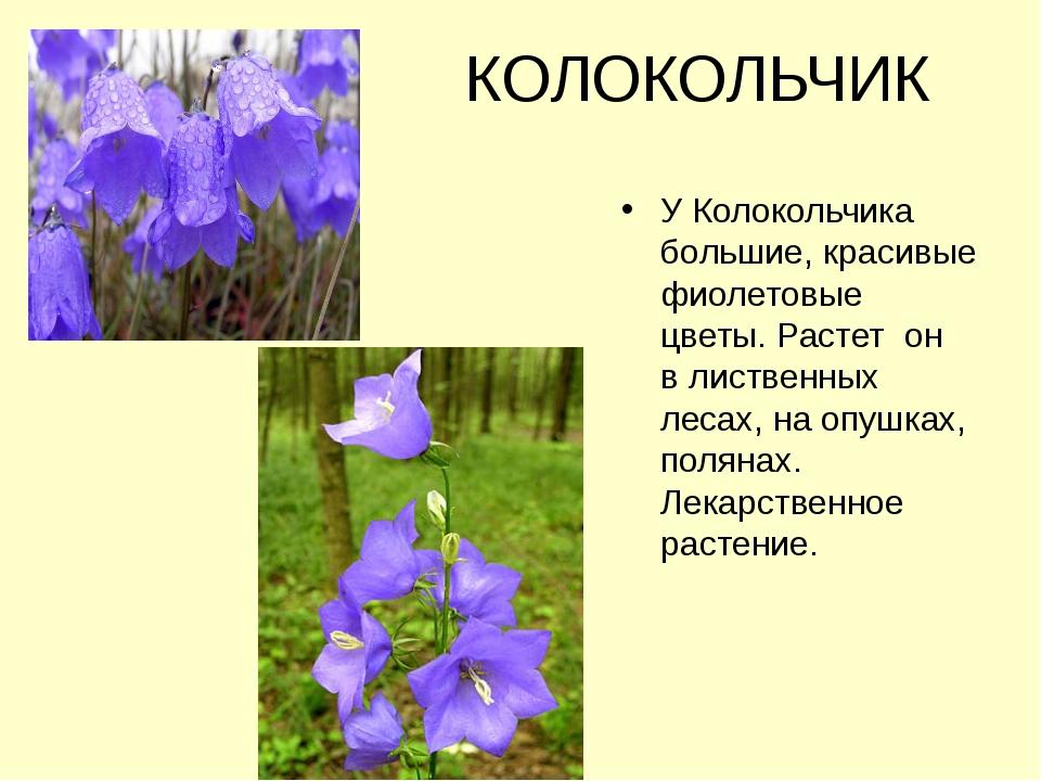 КОЛОКОЛЬЧИК У Колокольчика большие, красивые фиолетовые цветы. Растет он в л...