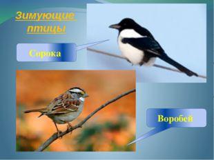 Зимующие птицы Сорока Воробей