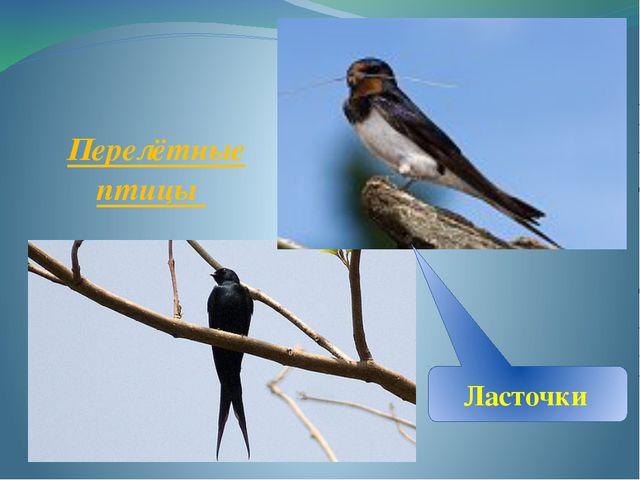 Перелётные птицы Ласточки
