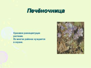 Печёночница Красивое раннецветущее растение. Во многих районах нуждается в ох