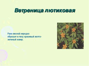 Ветреница лютиковая Рано весной нередко образует в лесу красивый желто-зелены