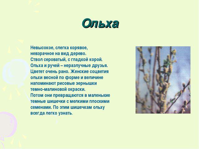 Ольха Невысокое, слегка корявое, невзрачное на вид дерево. Ствол сероватый, с...