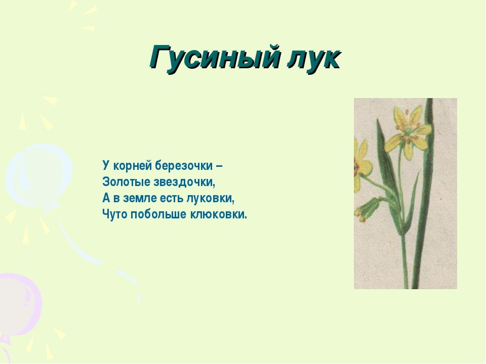 Гусиный лук У корней березочки – Золотые звездочки, А в земле есть луковки, Ч...