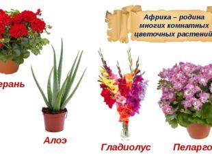 Африка – родина многих комнатных цветочных растений. Герань Алоэ Гладиолус Пе