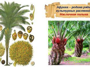 Африка – родина ряда культурных растений. Масличная пальма