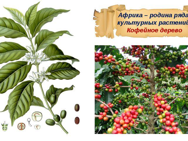 Африка – родина ряда культурных растений. Кофейное дерево