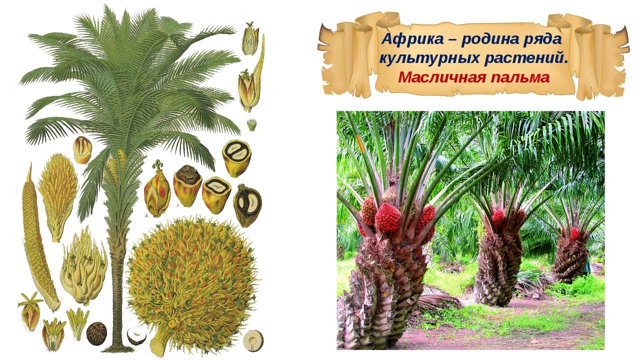 растения африки картинка с названиями приготовления сыра сулугуни