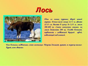 Лось Один из самых крупных зверей нашей страны. Длина тела самца 2,5-3 м, хво