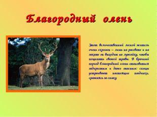 Благородный олень Этот величественный лесной житель очень скромен – лишь на р