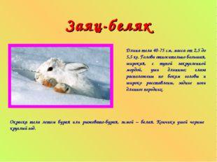 Заяц-беляк Длина тела 40-75 см, масса от 2,5 до 5,5 кг. Голова относительно б