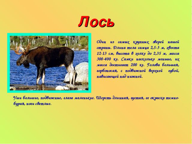 Лось Один из самых крупных зверей нашей страны. Длина тела самца 2,5-3 м, хво...