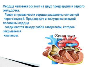 Сердце человека состоит из двух предсердий и двух желудочков ( рис. 12). Лева