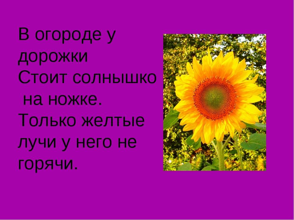 В огороде у дорожки Стоит солнышко на ножке. Только желтые лучи у него не гор...
