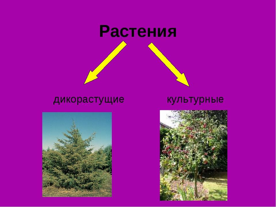 Растения дикорастущие культурные