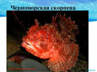 Черноморская скорпена Слайд 22