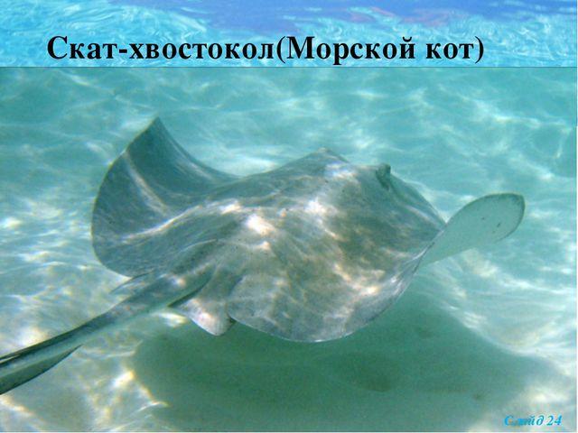 Скат-хвостокол(Морской кот) Слайд 24