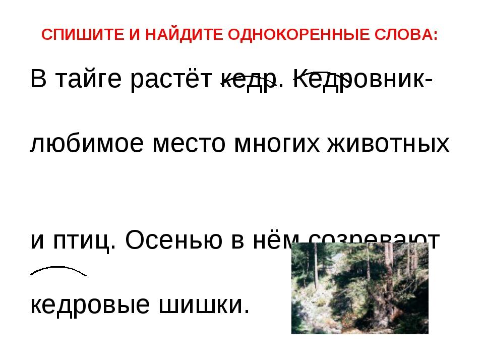 В тайге растёт кедр. Кедровник- любимое место многих животных и птиц. Осенью...