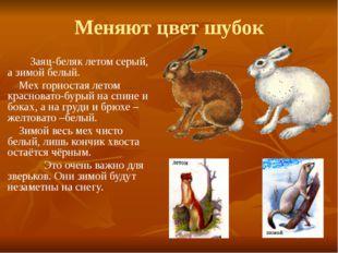 Меняют цвет шубок Заяц-беляк летом серый, а зимой белый. Мех горностая летом