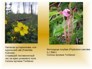 Лапчатка кустарниковая, или курильский чай (Potentilla fruticosa). Сгоревший