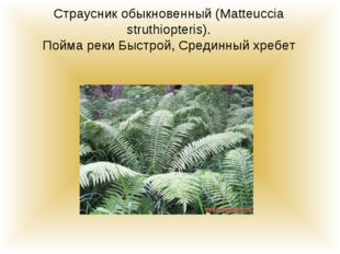 Страусник обыкновенный (Matteuccia struthiopteris). Пойма реки Быстрой, Среди