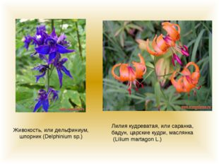Живокость, или дельфиниум, шпорник (Delphinium sp.) Лилия кудреватая, или сар