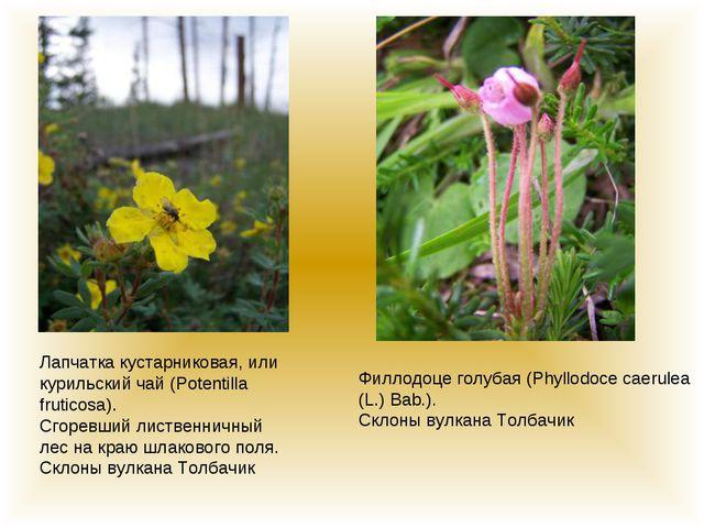 Лапчатка кустарниковая, или курильский чай (Potentilla fruticosa). Сгоревший...