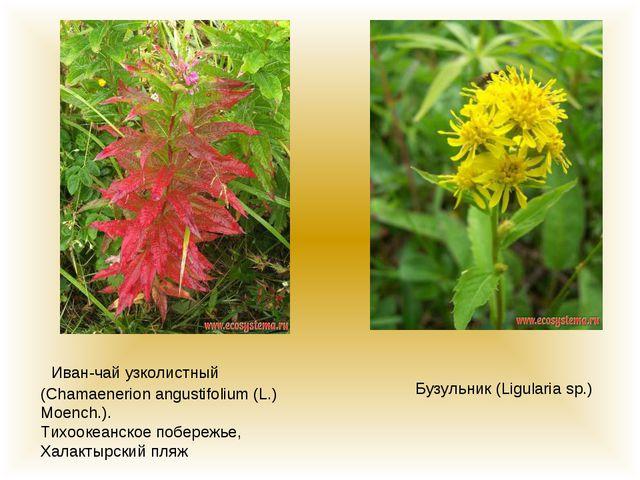 Иван-чай узколистный (Chamaenerion angustifolium (L.) Moench.). Тихоокеанско...