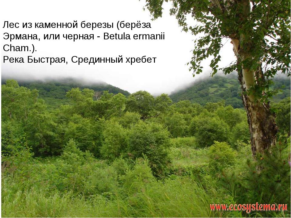 Лес из каменной березы (берёза Эрмана, или черная - Betula ermanii Cham.). Ре...
