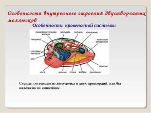 Особенности внутреннего строения двустворчатых моллюсков Особенности кровенос