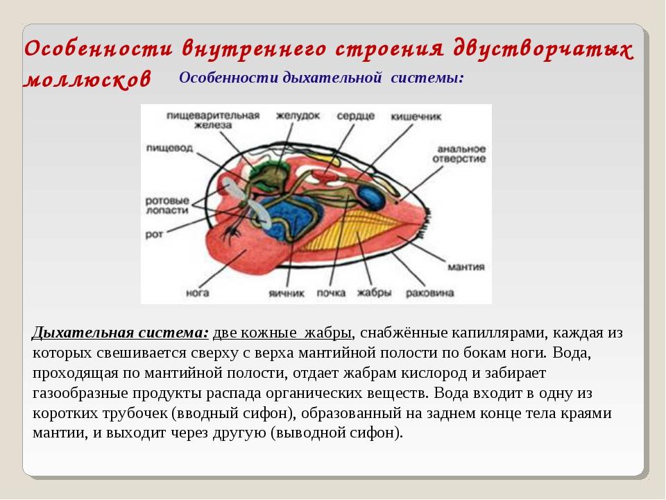 Особенности внутреннего строения двустворчатых моллюсков Особенности дыхатель...
