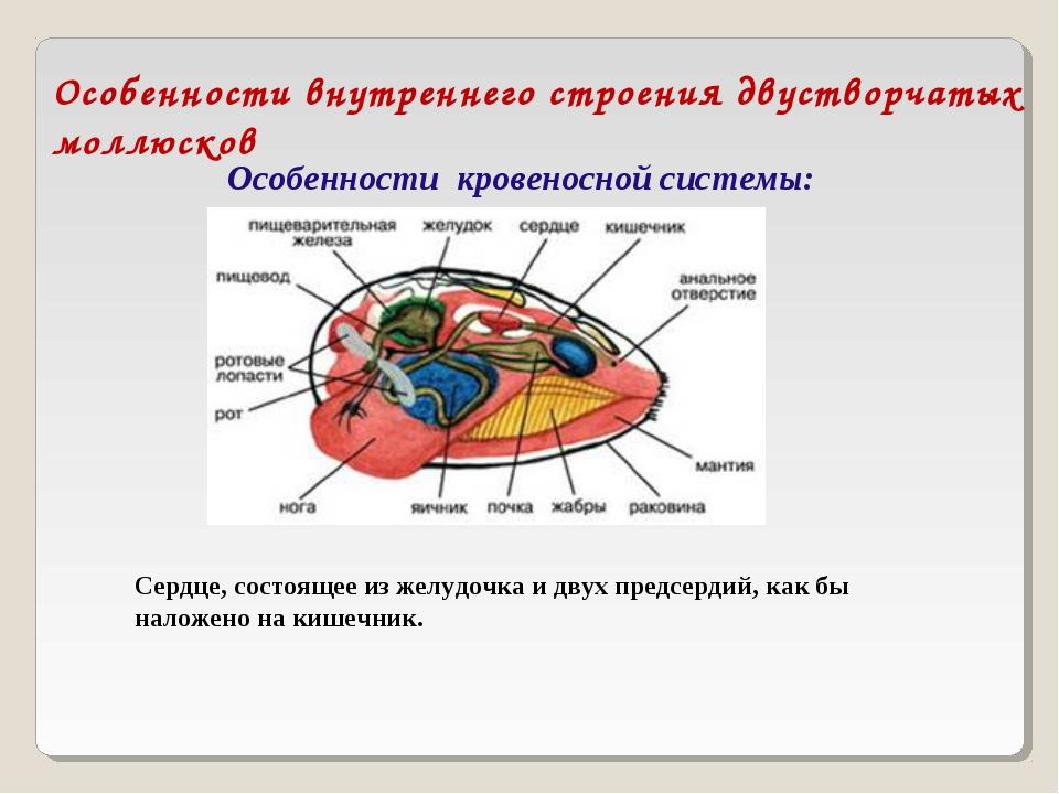 Особенности внутреннего строения двустворчатых моллюсков Особенности кровенос...